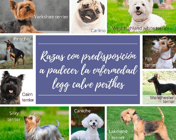 razas predisposicion legg calve perthes perros