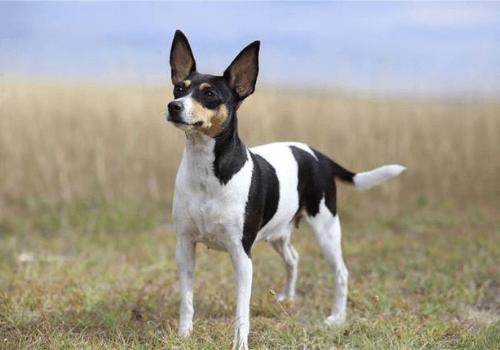 Fox terrier toy.