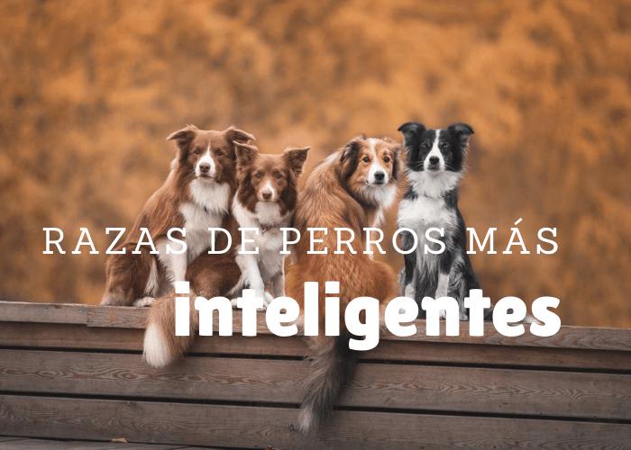 cual es la raza de perro más inteligente