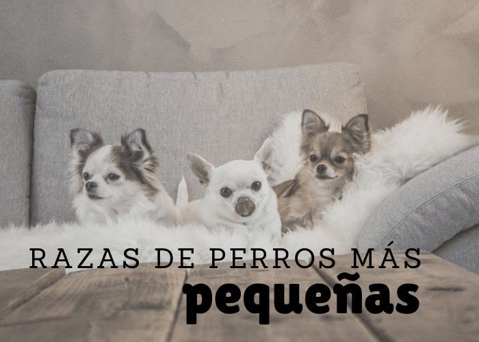 razas de perros mas pequeñas