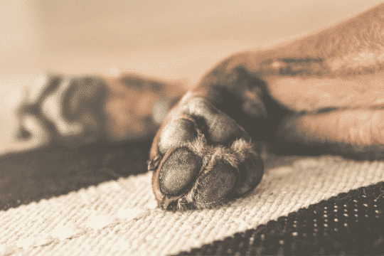 Por qué se lamen los perros las patas constantemente