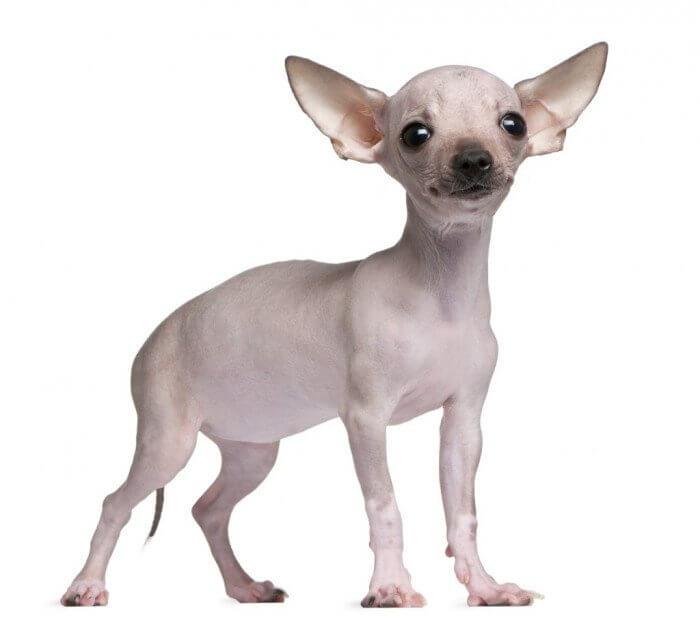 Chihuahua sin pelo