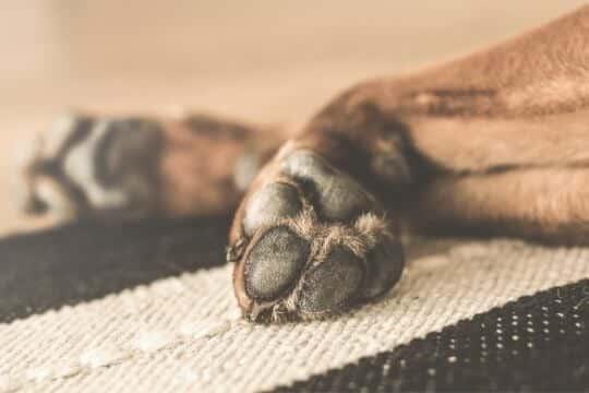 cuantos dedos tienen los perros en las patas traseras