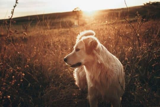 golden retriever historia