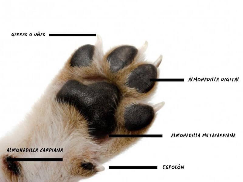 partes de la pata de un perro