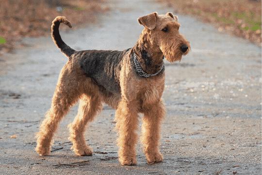 Airdale terrier perro