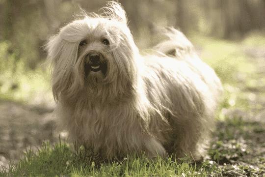 Bichón habanero perro