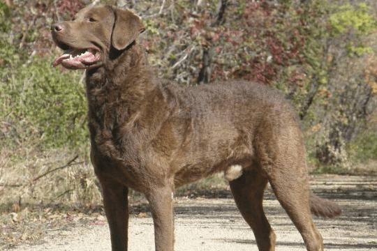 Chesapeake bay terrier