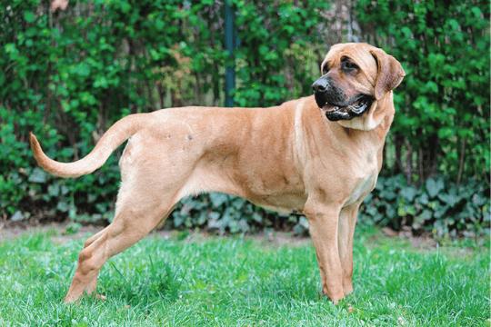 Perro Tosa inu