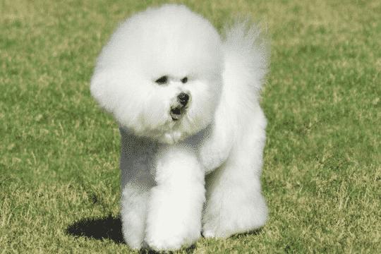 Perro bichón frise