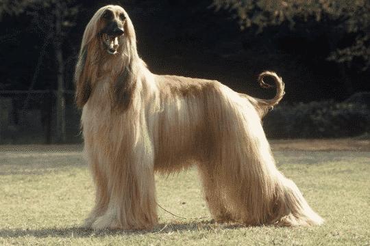 Perro galgo afgano