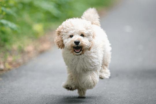 Perro maltipoo