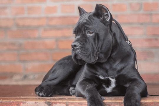 Perro mastín italiano