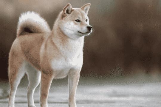 akita-inu-perro