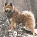 eurasier perro