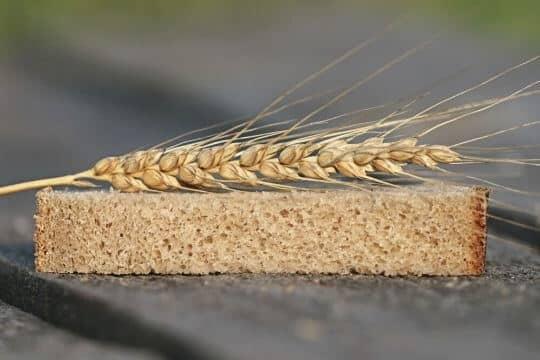 los perros pueden comer trigo