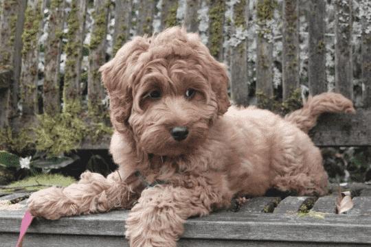 perro Australian Cobberdog