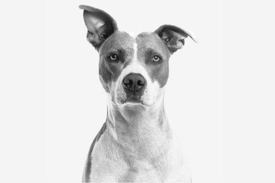 A qué edad levantan las orejas los perros