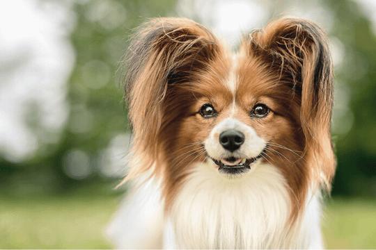 Perro papillón