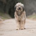 Perro pastor catalán