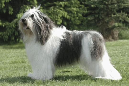 Perro pastor polaco de las llanuras