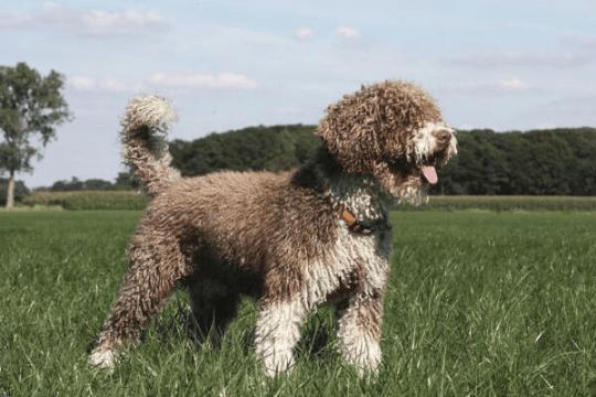 Raza perro de aguas español