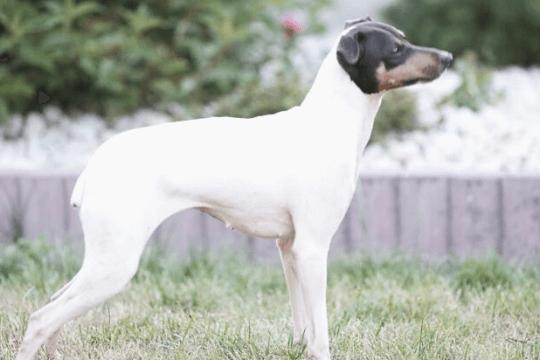 Terrier japones