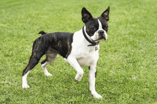 perro boston terrier
