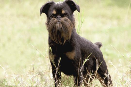 perro grifon belga