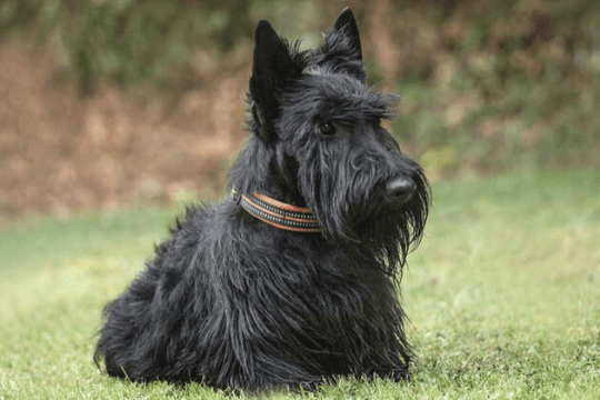 scottish terrier perro