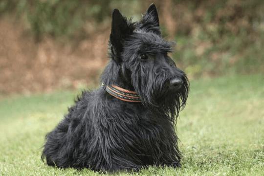 scottish terrier perro