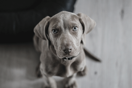 vitamina b perros