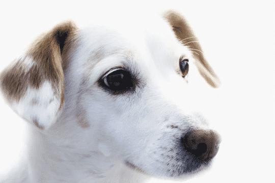 cuantas vacunas necesita un perro