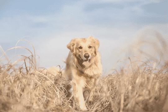 Peligros de las espigas para los perros