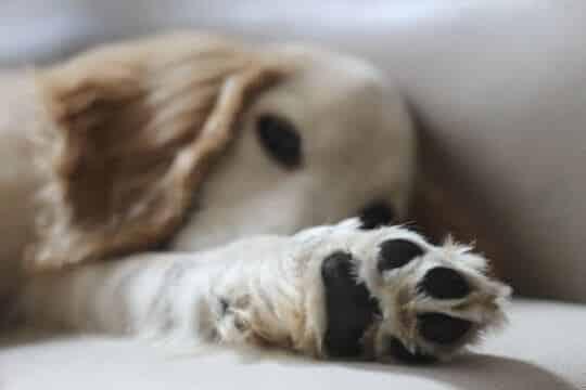 perro diestro o zurdo