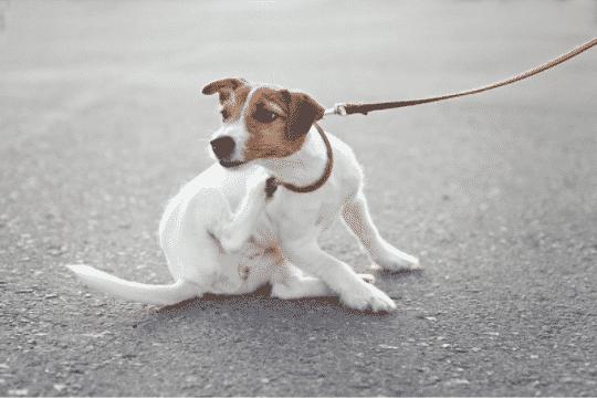 por que se rascan los perros